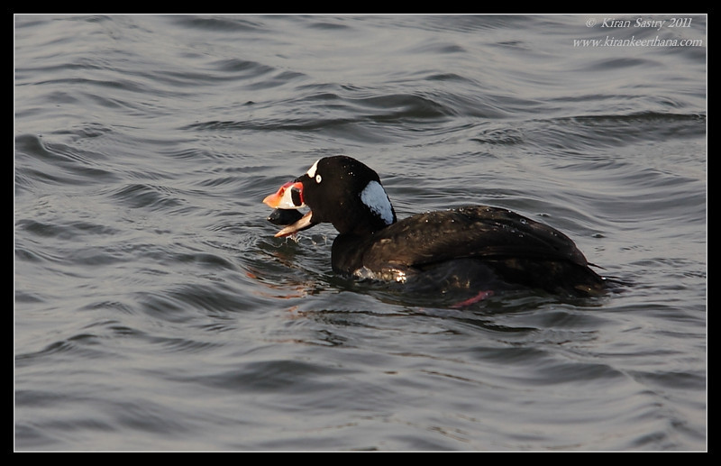 Surf Scoter male with a mussel, Bolsa Chica Ecological Reserve, Orange County, California, February 2011