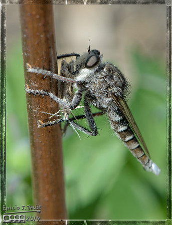 Robber - The Impressive Fly