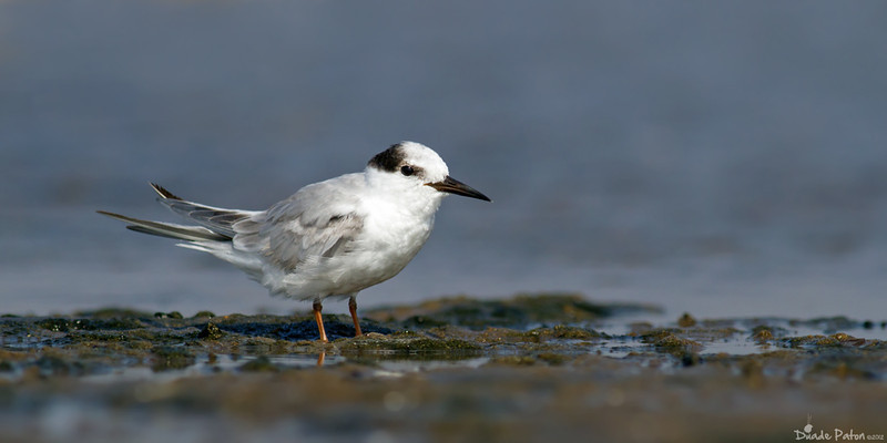Little Tern - Non-breeding