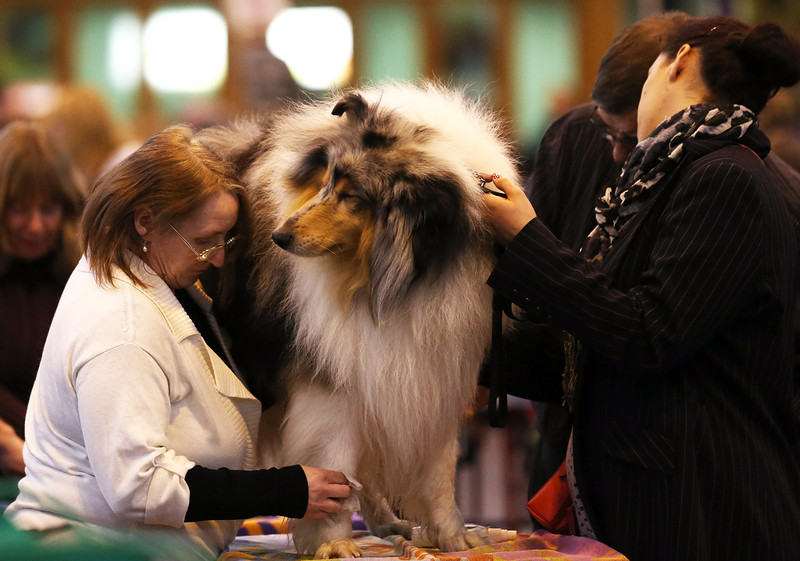 . A dog is groomed on the first day of Crufts dog show at the NEC on March 6, 2014 in Birmingham, England. Said to be the largest show of its kind in the world, the annual four-day event, features thousands of dogs, with competitors traveling from countries across the globe to take part. Crufts, which was first held in 1891 and sees thousands of dogs vie for the coveted title of \'Best in Show\'.  (Photo by Matt Cardy/Getty Images)