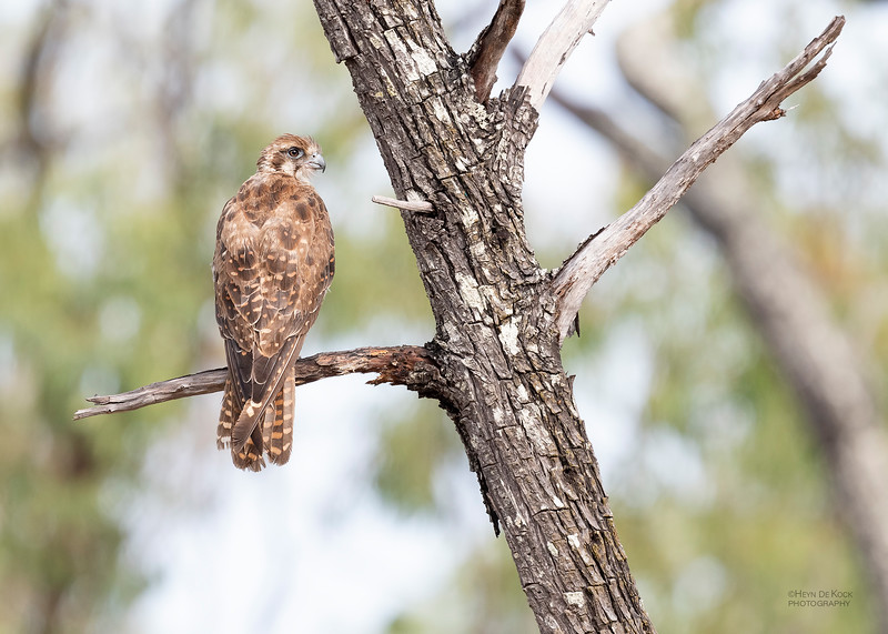 Brown Falcon, Hidden Valley, QLD, Jan 2020-2.jpg