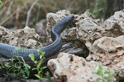 Texas Indigo Snake