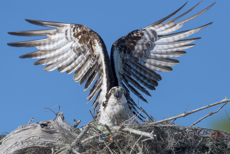 2021_KSMetz_Florida_Osprey Trip_April06_NIKON D5_0654-Edit.jpg