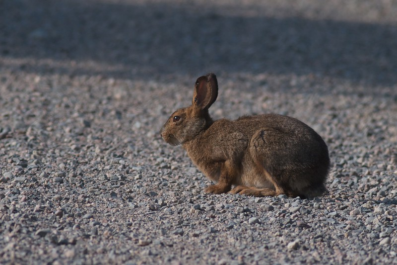 Snowshoe Hare Sax-Zim Bog MN IMG_0059588.jpg