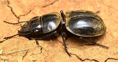 Euryscaphus obesus (Scaritinae)
