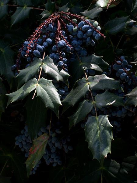IMG_6693-blueberries-www.jpg