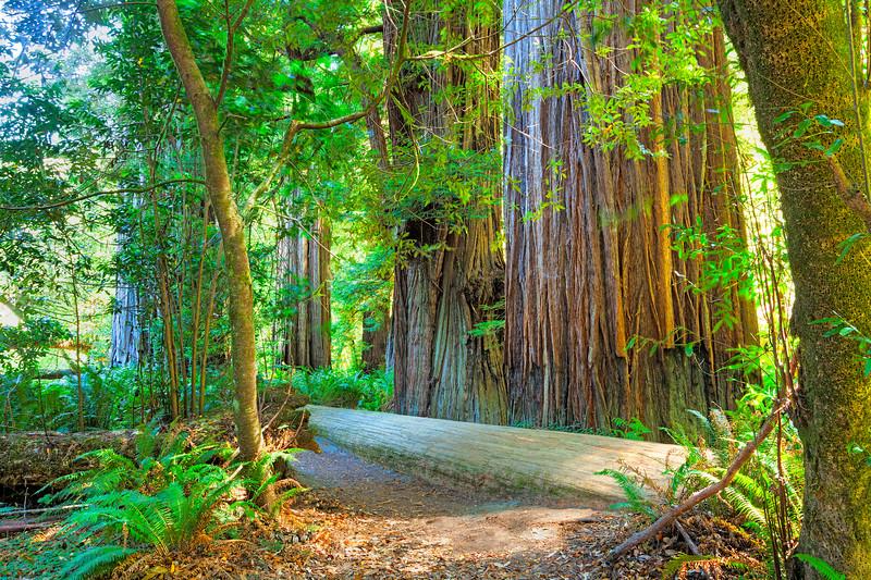 0273 Redwood Tree