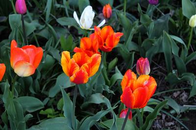 Tulip Brunch