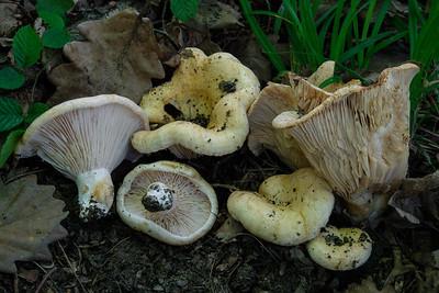 Lactarius et Lactifluus - najnovšie pridané fotografie