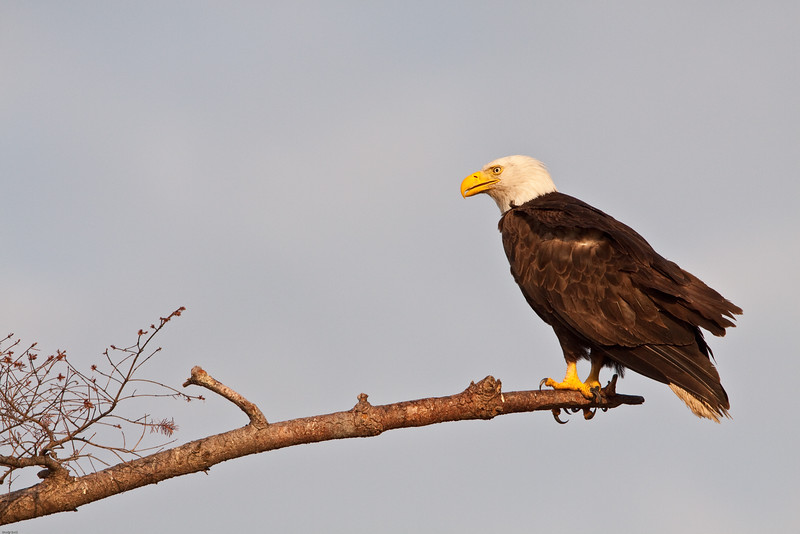 Bald-eagle-adult-portrait-2.jpg