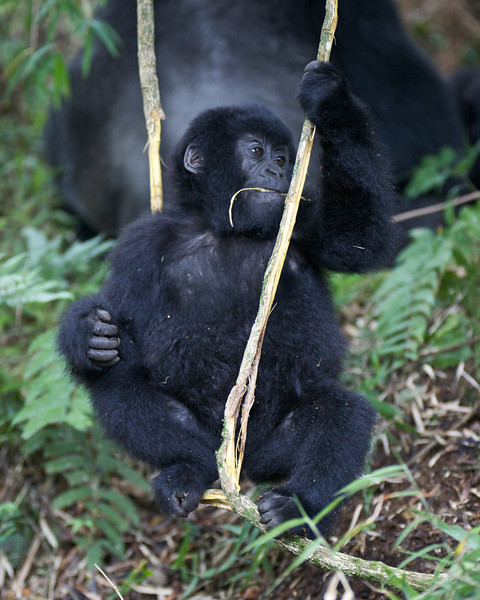 Gorillas  8432.jpg
