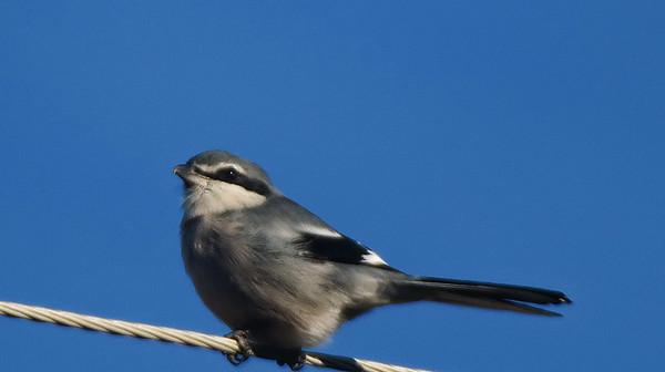 Iberian (Southern) Grey Shrike
