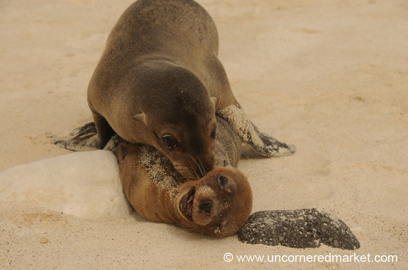 Play Time for Sea Lions - Galapagos Islands