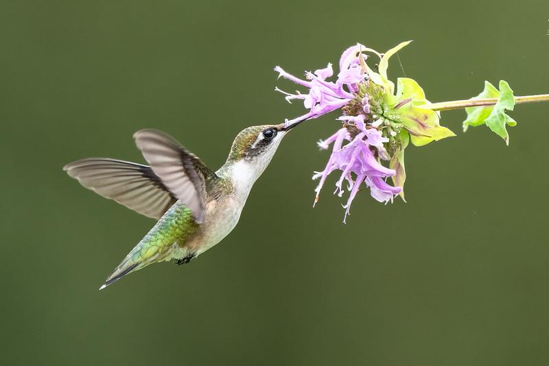 #1731 Ruby-throated Hummingbird