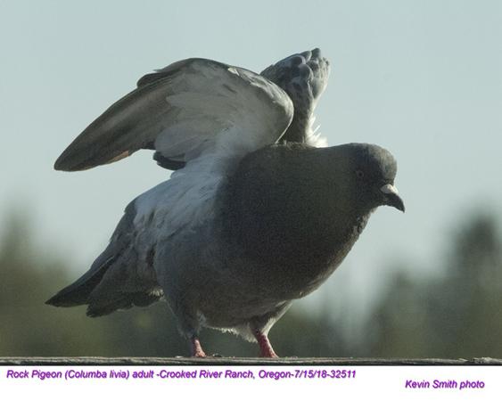 Rock Pigeon A32511.jpg