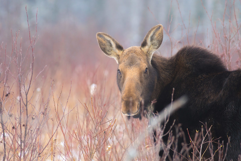 Moose cow yearling in snow Blue Spruce Road Sax-Zim Bog MN DSC02473.jpg