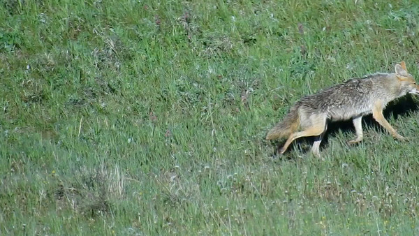 5-31-16 Video - Coyote Mom - 5 Pups - A Lot Of Patience