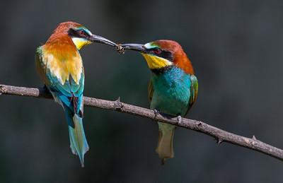 Bee eater / Biätare / Merops apiaster