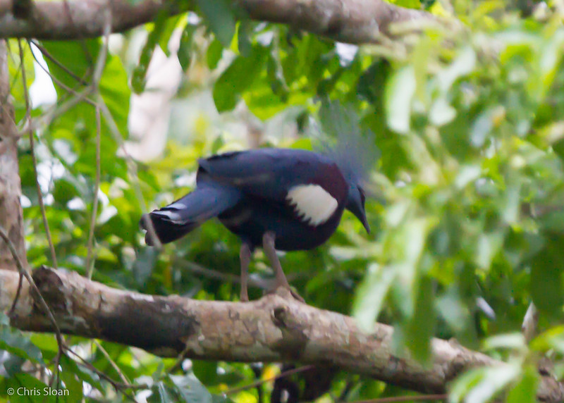 Southern Crowned-Pigeon at Kwatu Lodge, Papua New Guinea (10-11-2013) 017-157.jpg