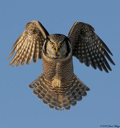 Owls & Nightjars