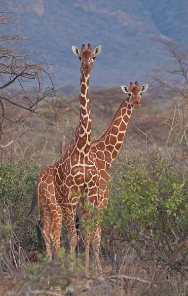 Early morning Giraffe