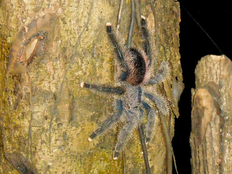Amazonian Pink Toe Tarantula (Avicularia juruensis)