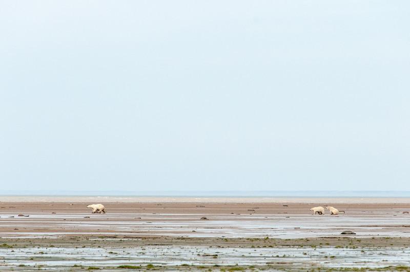 Bears in Hudson Bay in Manitoba, Canada