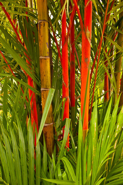 Bamboo trees, Singapore