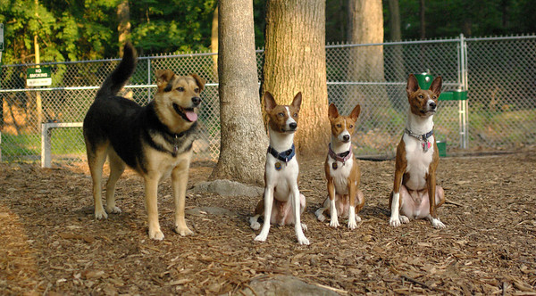 PICS JUNE 26::FOUR BASENJI