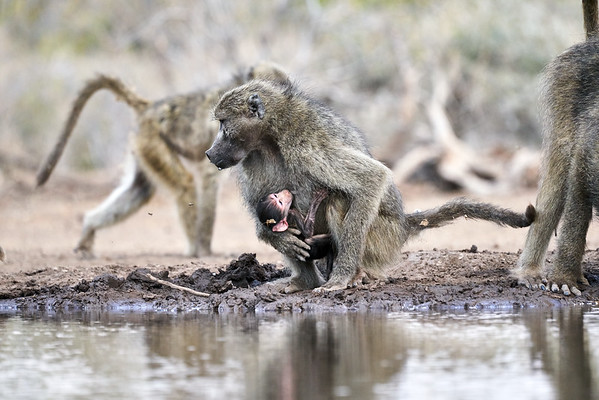 Baboon Babies Suckling Mashatu Botswana 2019