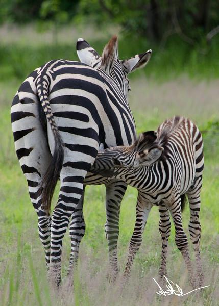ZebraS-16.jpg