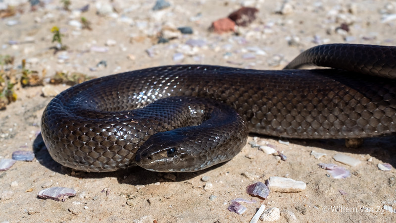 20201018 Mole Snake (Pseudaspis cana) from Doorspring, Lamberts Bay, Western Cape