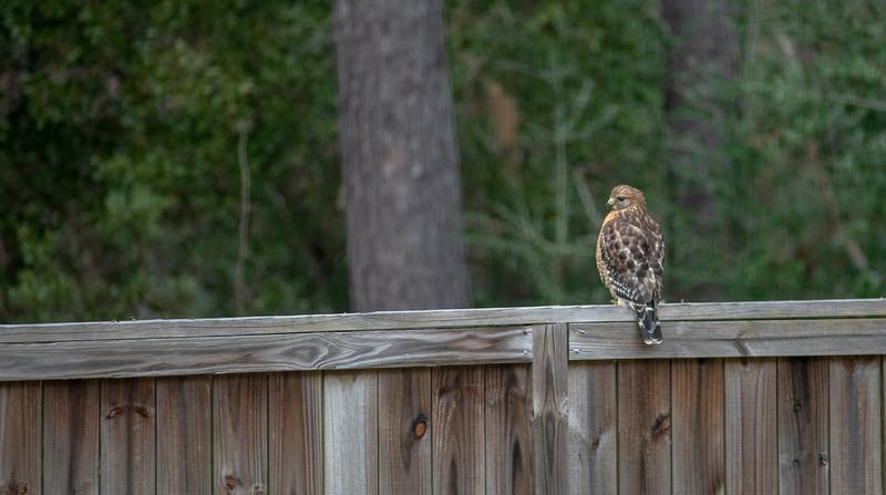 MMG_1341 Hawk on Faulkner_2.jpg
