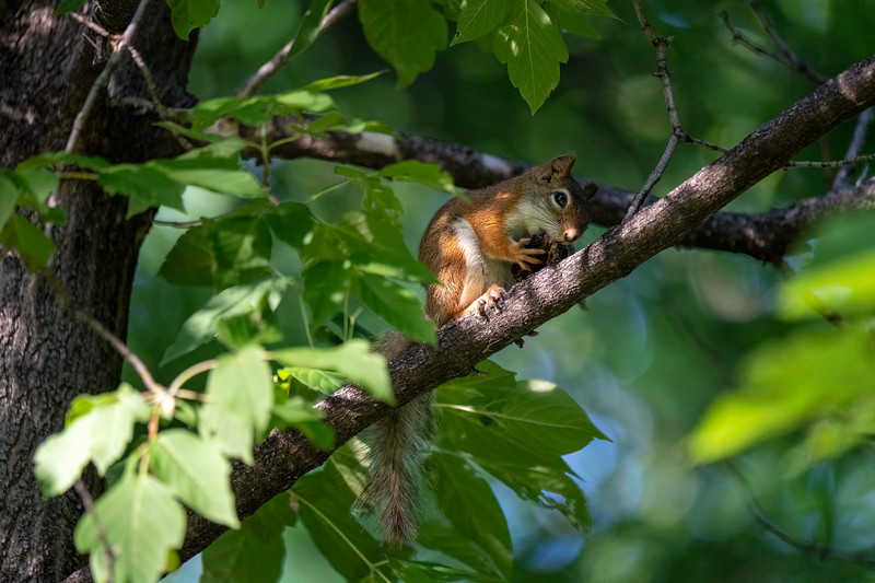 american red squirrel with a nut in a tree