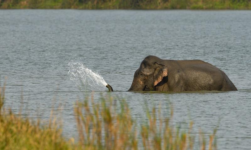 Elephant-swimming-across-lake-kaziranga-13.jpg