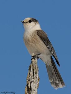 Gray Jay, Perisoreus canadensis