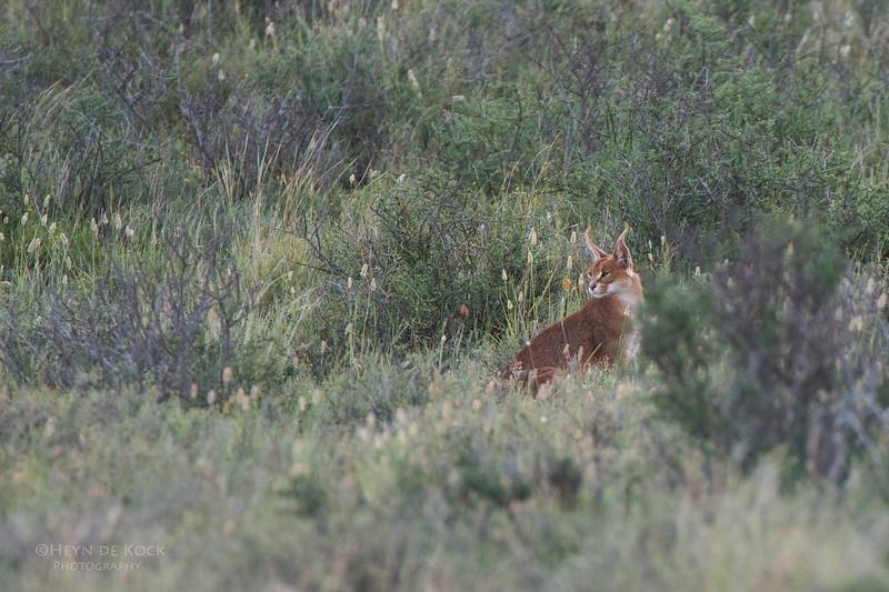 Caracul, Karoo NP, WC, SA, Jan 2014.jpg