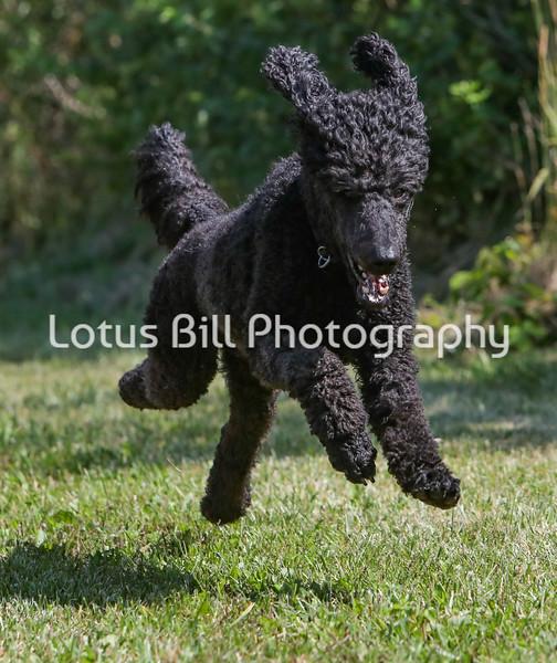 Standard Black Poodle SR