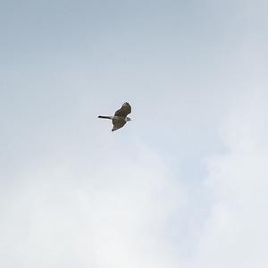 030-28 Accipiter nisus, Sparvhök, Eurasian Sparrowhawk