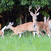 A whitetail deer buck stands still while does and fawns flee. Motion blur in running animals.