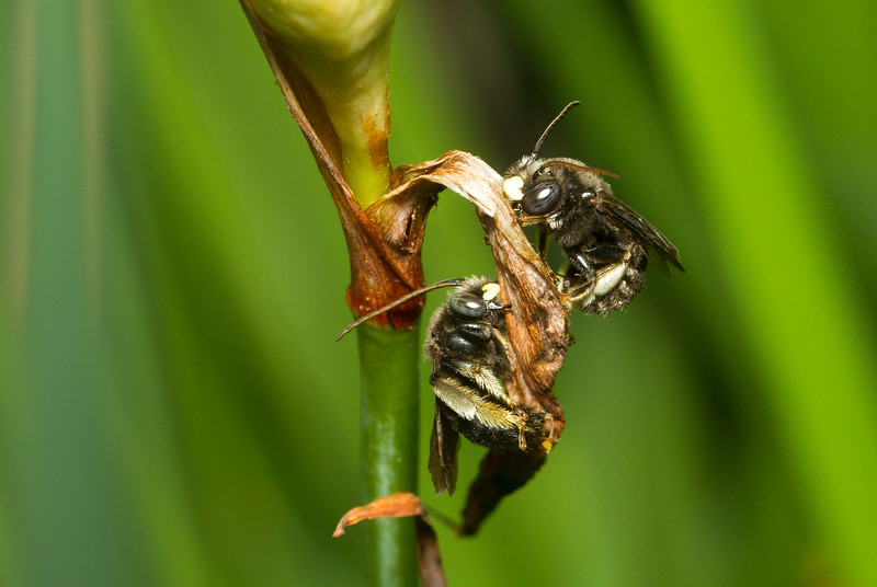 Male longhorn bees, likely Melissodes sp. (Eucerini), from Iowa.