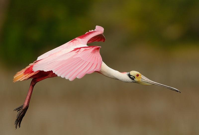 Roseate Spoonbill Black Point Wildlife Drive Merritt Island NWR, Florida December 2012