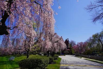Cherry Blossom Trees Spring 2021