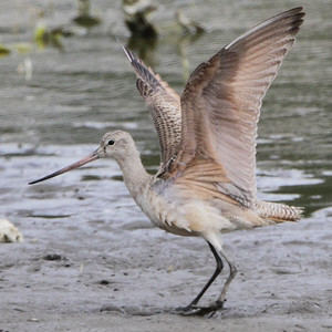 2016-09-28 & 29 Riverlands Migratory Bird Sanctuary