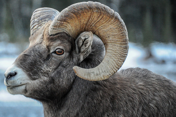 11 2013 Nov 22 Rocky Mountian Big Horn Sheep - Ram*^