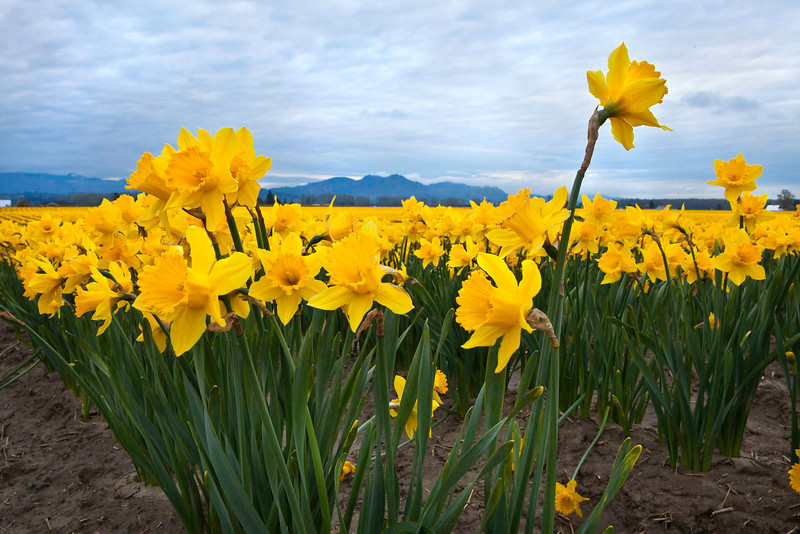 Daffodils 6936