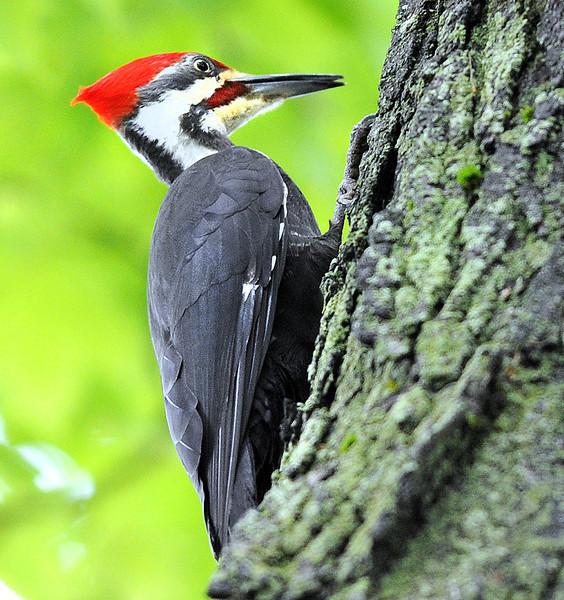 Bates woodpecker