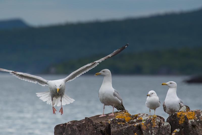 Seagulls Lake Superior-6308.jpg