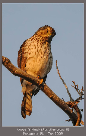 "Cooper""s Hawk"