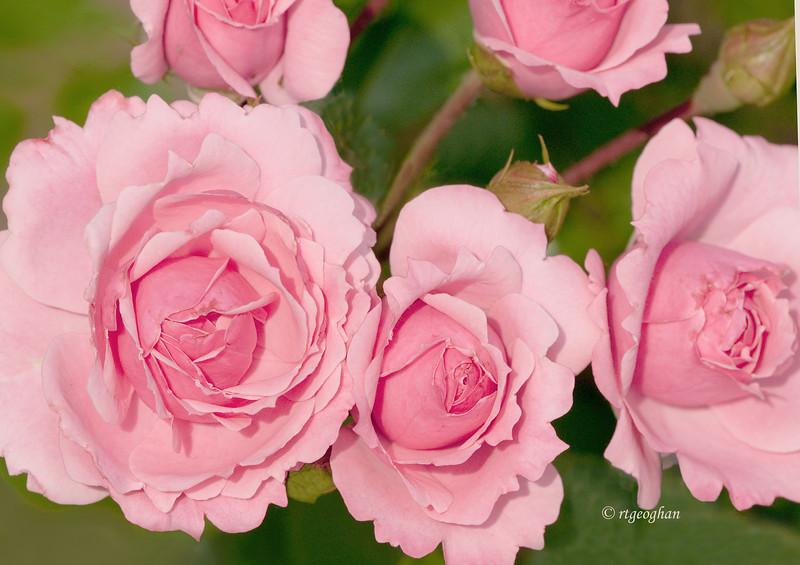 June 5_Pink Roses_4164.jpg